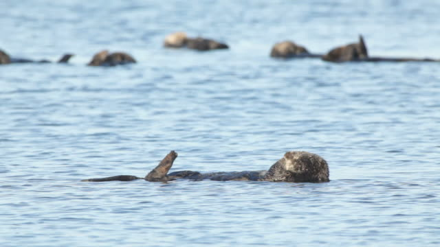 hd video wild sleeping sea otter raft monterey bay california - otter stock videos and b-roll footage