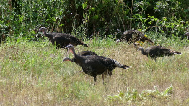 HD video Wild turkeys chase and eat grasshoppers Colorado