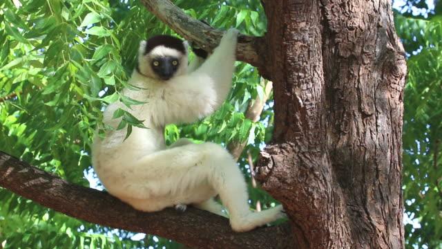 の hd ビデオワイルドべローシファカはマダガスカルベレンティ保護区 - キツネザル点の映像素材/bロール
