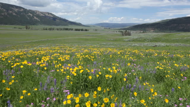 hd video wind blows wildflowers lamar valley yellowstone np wyoming - wildflower stock videos & royalty-free footage