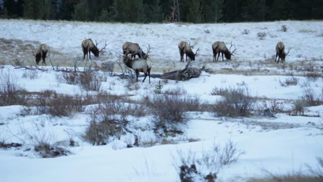 hd video winter bull elk herd rocky mountain np colorado - herding stock videos & royalty-free footage