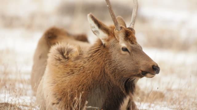 Vídeo em HD de Inverno Alce mastigar em Rocky Mountain NP Colorado