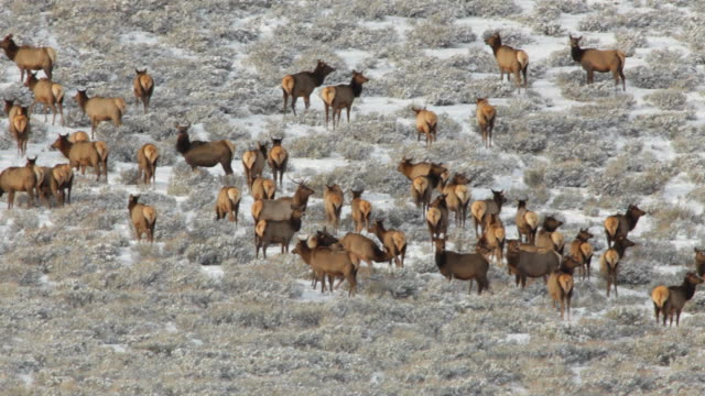 HD Video winter elk herd Yellowstone NP