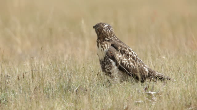 hd video young red-tailed hawk hunting on prairie arizona - prairie stock videos & royalty-free footage