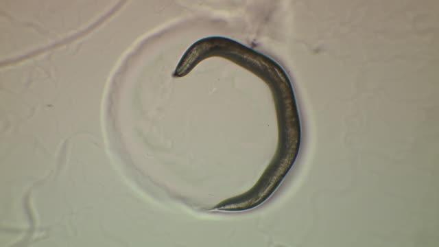 Videomicrography of rolling mutant Caenorhabditis elegans.