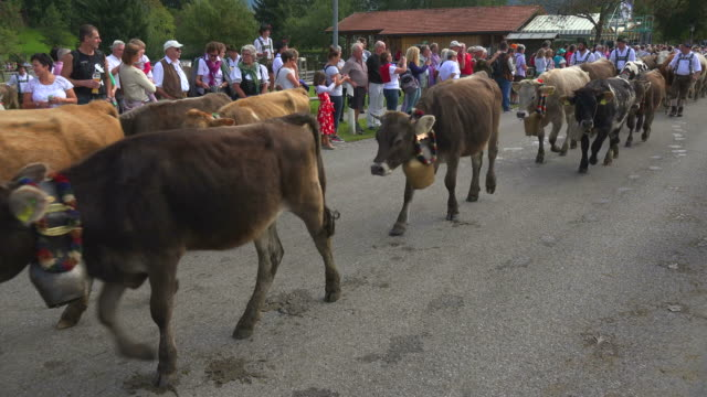viehscheid, the annual driving down of the cattle from the summer mountain pastures into the valley, in obermaiselstein, swabia, bavaria, germany - bayern stock-videos und b-roll-filmmaterial