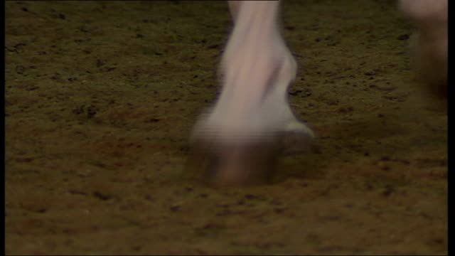 viennese lipizzaner horses prepare for london show england london int lipizzaner stallion from spanish riding school in vienna in exercise area with... - stallion stock videos & royalty-free footage