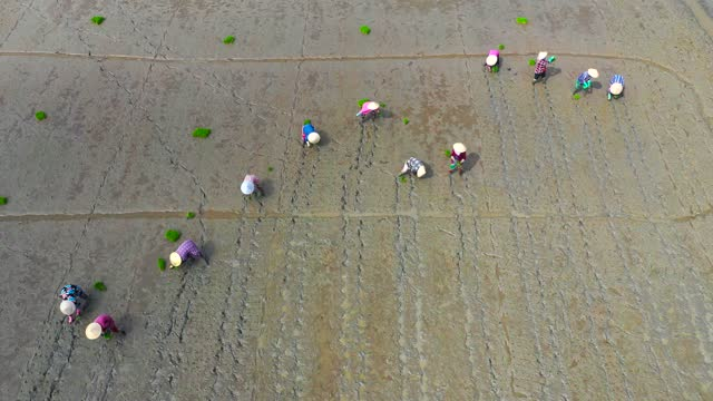 vietnam, human labor - rice transplantation by farmers wearing leaf hat - aerial view - 01 december 2019 - 農林水産関係の職業点の映像素材/bロール