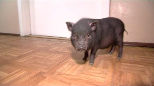 vietnamese pig - pig stock videos & royalty-free footage