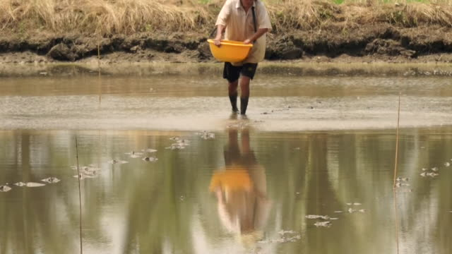 a vietnamese rice farmer working in a paddy field - mekong delta stock videos & royalty-free footage