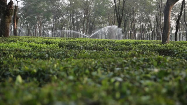 view at a tea field with water sprinklers for irrigation in the back then panning down with zoom on tea plants - water cooler stock videos & royalty-free footage