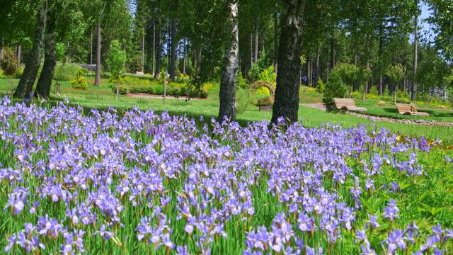 ms view field of blue iris in park / losheim, saarland, germany - iris plant stock videos & royalty-free footage