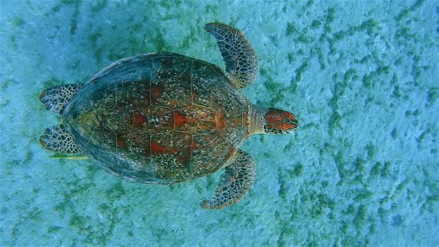 Blick von oben grünen Meeresschildkröte und Remora Fische schwimmen im Roten Meer / Marsa Alam