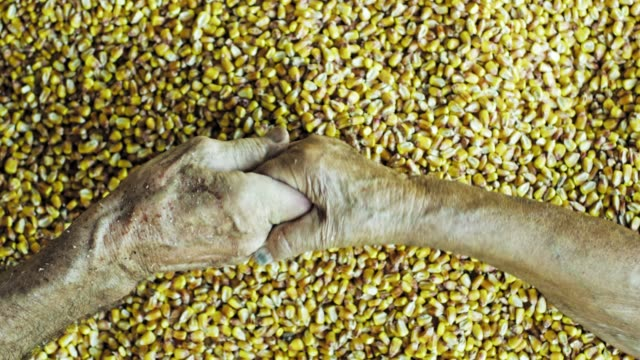view from above senior farmers holding hands over fresh harvested yellow corn kernels,slow motion - reaching stock videos & royalty-free footage