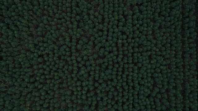 view from directly above a sprout field in lincolnshire - land stock videos & royalty-free footage