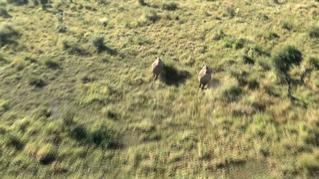 AERIAL WS TS  View  from helicopter of two rhinoceros running through grasslands/ South Africa
