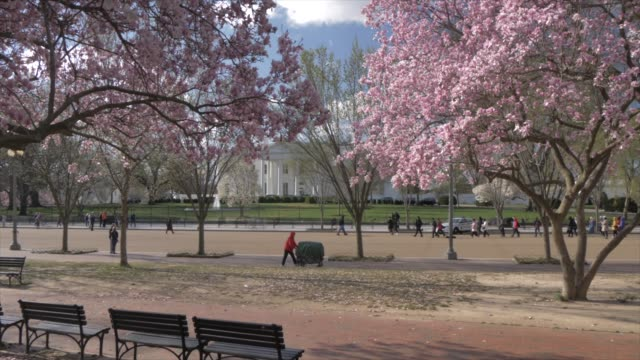 view from lafayette square of white house and cherry blossom, washington dc, united states of america, north america - white house washington dc stock videos & royalty-free footage