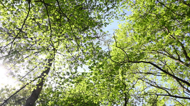 view from of tree lops from below of bloomed trees in spring. camera circular movement.  germany, berlin. - treetop stock videos & royalty-free footage
