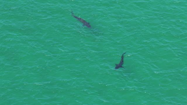 vídeos y material grabado en eventos de stock de ws aerial zi view high over two basking sharks cetorhinus maximus near island of coll / isle or island of coll, argyll and bute, scotland - peregrino