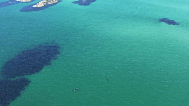 vídeos y material grabado en eventos de stock de ws aerial view high over two basking sharks cetorhinus maximus near island of coll / isle or island of coll, argyll and bute, scotland - peregrino