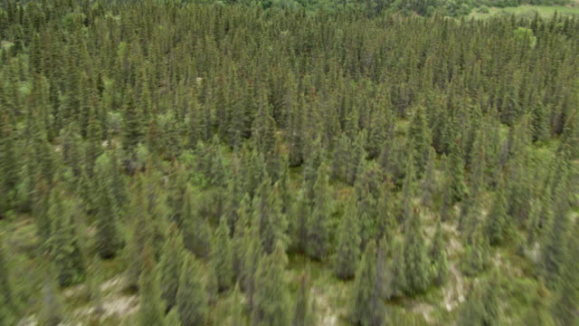 ms aerial view low over forests in brooks river area / alaska, united states - alder tree stock videos & royalty-free footage
