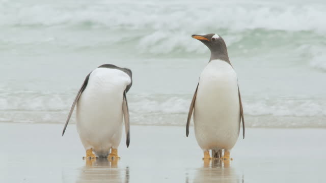 WS View of 2 Gentoo Penguins Pygoscelis papua standing on beach then walk off / Volunteer Point, Falkland Islands