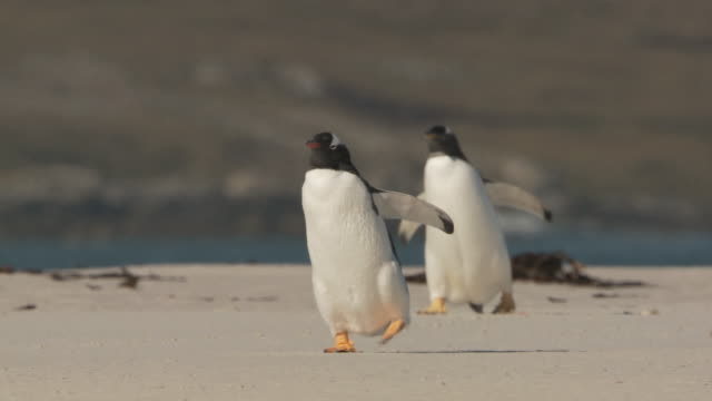 ws ts view of 2 gentoo penguins pygoscelis papua walking on beach / volunteer point, falkland islands - small group of animals stock videos & royalty-free footage