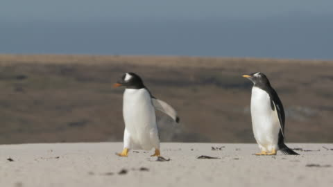 ws view of 2 gentoo penguins pygoscelis papua walking on beach / volunteer point, falkland islands - small group of animals stock videos & royalty-free footage