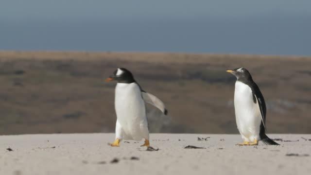 vídeos y material grabado en eventos de stock de ws view of 2 gentoo penguins pygoscelis papua walking on beach / volunteer point, falkland islands - grupo pequeño de animales
