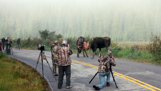 WS View of 2 massive bull moose (Alces alces) sparring in road as photographers capture action / Ward, Colorado, United States