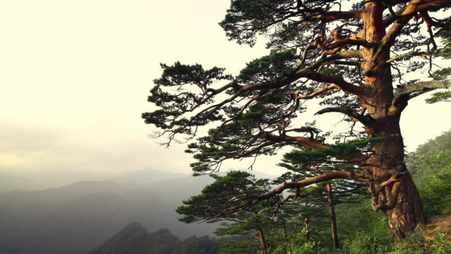 view of 600-year-old tree (upright korean red pine) in uljin geumgang pine forest / uljin-gun, gyeongsangbuk-do, south korea - pine stock videos & royalty-free footage