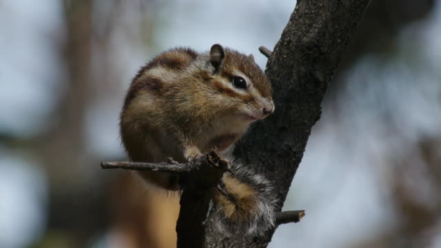 view of a asiatic chipmunk on the branch in olympic park - tamia striato video stock e b–roll
