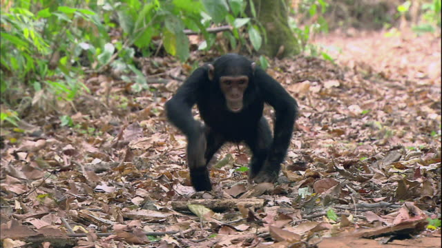 view of a baby chimpanzee and one's mother chimpanzee in manyara national park (famous spot for study about chimpanzees) in tanzania - chimpanzee stock videos & royalty-free footage