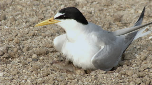 View of a baby tern playing inside the nest, South Korea