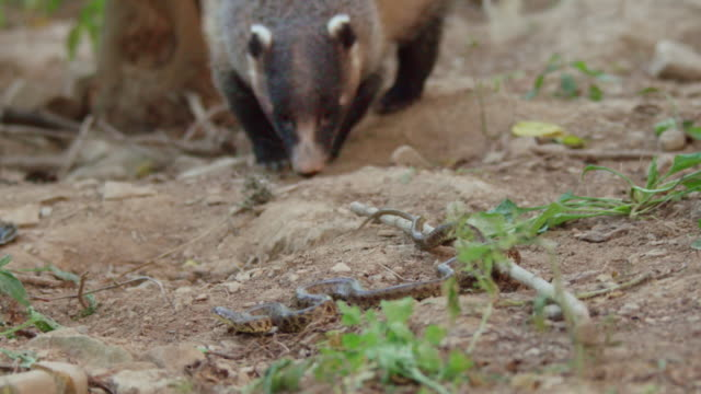 view of a badger and a snake in fighting stance / dmz, south korea - fighting stance stock videos & royalty-free footage