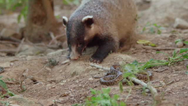view of a badger being attacked by a snake / dmz, south korea - south korea stock videos & royalty-free footage