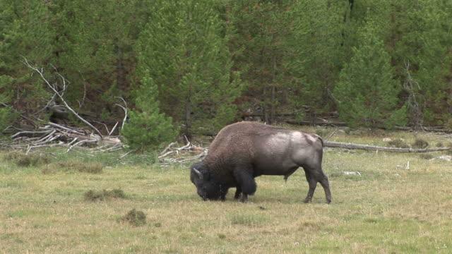 view of a bison grazing in yellowstone national park wyoming united states - hovdjur bildbanksvideor och videomaterial från bakom kulisserna