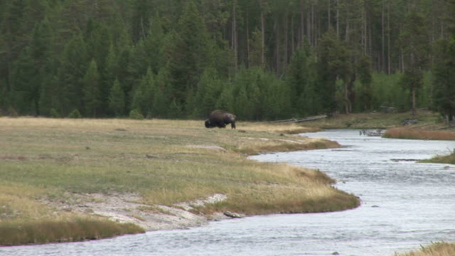 View of a bison grazing in Yellowstone National Park Wyoming United States