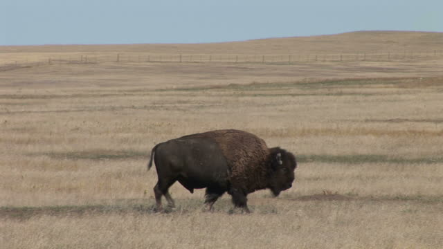 view of a bison in badlands national park south dakota united states - badlands national park video stock e b–roll