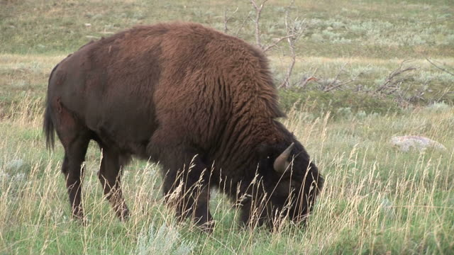 view of a bison in custer state park south dakota united states - custer state park stock videos & royalty-free footage