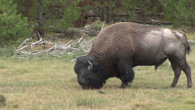 view of a bison in yellowstone national park wyoming united states - hovdjur bildbanksvideor och videomaterial från bakom kulisserna