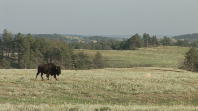 view of a bison with her baby in custer state park south dakota united states - custer state park stock videos & royalty-free footage