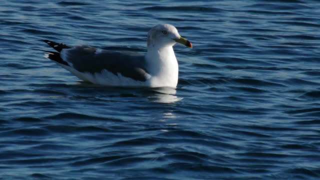 View of a black-tailed gull on the east sea