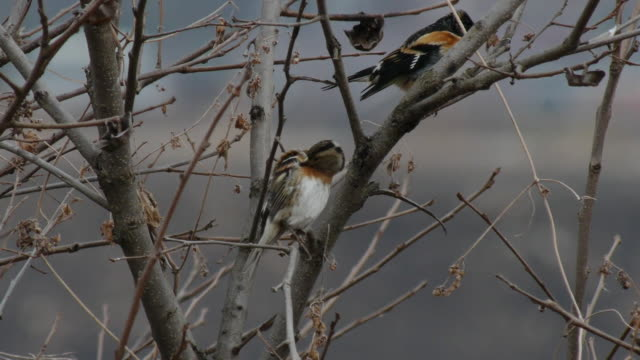 vidéos et rushes de view of a brambling grooming on the branch - petit groupe d'animaux