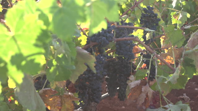 view of a breeze blowing the leaves and heavy bunches of red grapes hanging on the vine. - viniculture stock videos & royalty-free footage