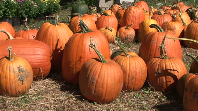 View of a bunch of pumpkins in Vermont United States