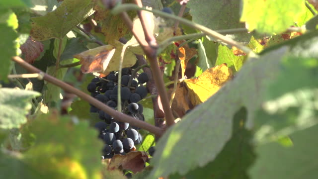 view of a bunch of red grapes hanging on the vine. - viniculture stock videos & royalty-free footage
