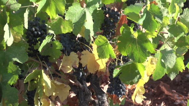 view of a bunches of red grapes hanging on the vine. - viniculture stock videos & royalty-free footage
