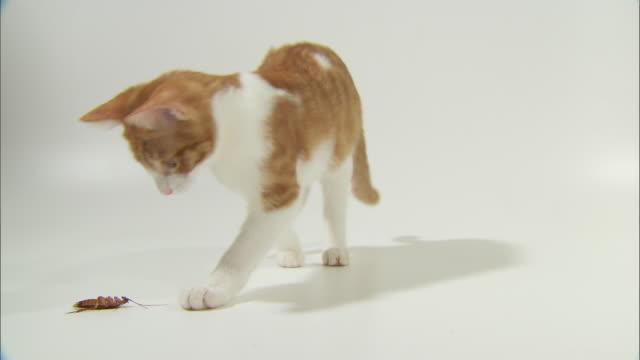 vidéos et rushes de view of a cat kicking cockroach upside down - fond blanc