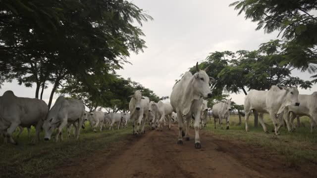 vídeos de stock, filmes e b-roll de vista de um rebanho de gado caminhando para a câmera , mato grosso, brasil - animal de fazenda